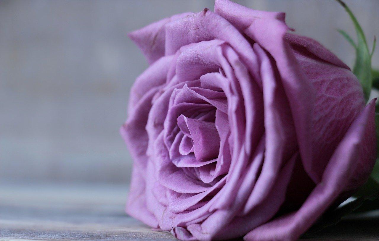 【おちょやん】紫のバラの人は一体誰かネットで考察話題!ガラスの仮面と間違う人多発!